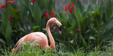 large pink long-necked bird standing behind grass