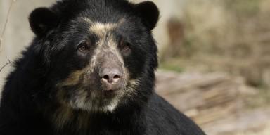 An Andean bear