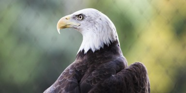 Bald eagle looking sternly to the side with a blackish-brown plumage capped by a white head and yellow, hooked beak