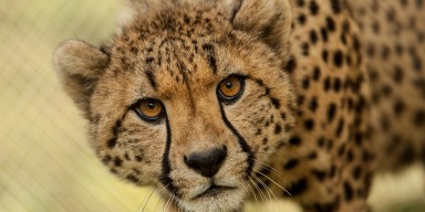 closeup of face of large cat with tan fur and black spots