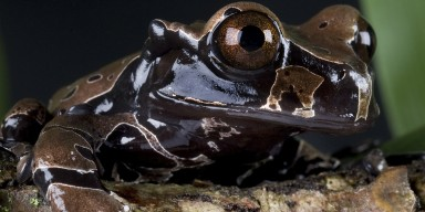 Coronated Tree Frog black and green background