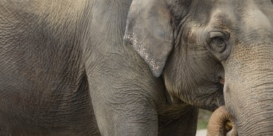 A close-up of an Asian elephant