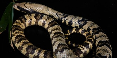 A false water cobra against a black background