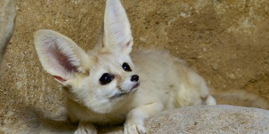 Fennec Fox sitting on rock
