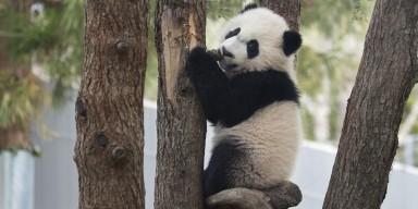 bei bei climbing a tree