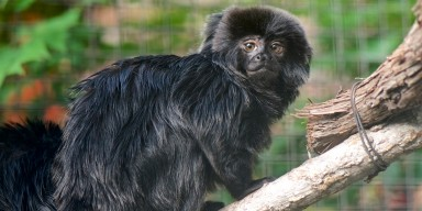 A shaggy, black-haired monkey, called a Goeldi's monkey, perched on a tree branch