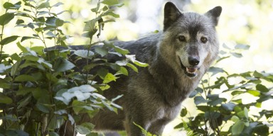 Wolf standing behind vegetation