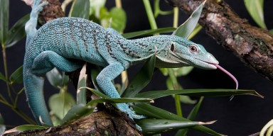 green tree monitor on a branch