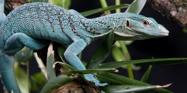 An emerald tree monitor lizard climbing on a branch with leaves