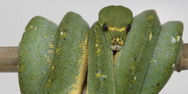 pale green snake coiled on a branch
