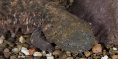 hellbender underwater laying on river rocks