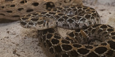 A lance head rattlesnake curled up in the sand