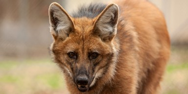 maned wolf grass background