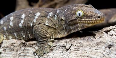 new caledonian giant gecko on a log