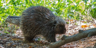 Quillby the North American Porcupine in profile