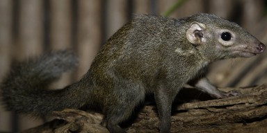A bushy tail and a long snout on a grayish-black furry animal