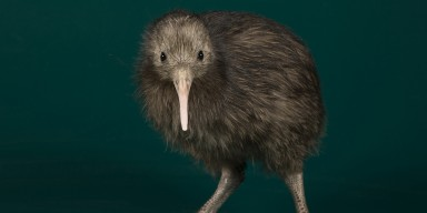a young kiwi with a long pale bill, beady black eyes, long gray legs, and brown hairlike feathers