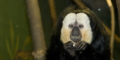 Black body and central face with enormous white patches on the face. The fingers are long and fine