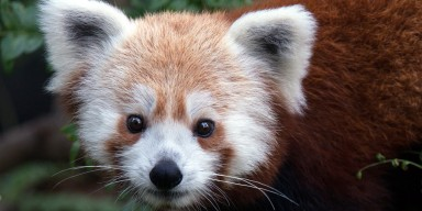red panda closeup