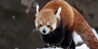 Red panda walks on snow