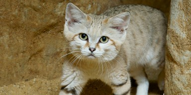 A cat with sandy coloration