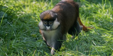 brown monkey with white nose and cheeks walking through the grass