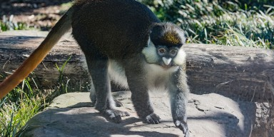 Schmidts' red tailed guenon