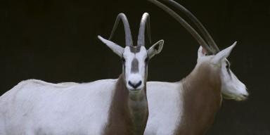 Scimitar Horned Oryx black background