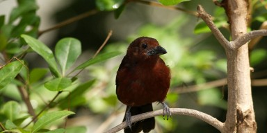 small maroon songbird on perch