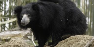 Sloth Bear on a rock