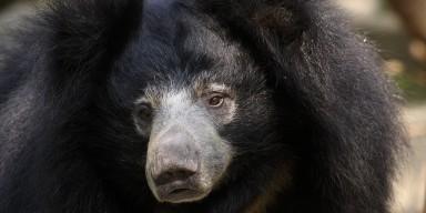 Closeup showing the black-furred bear's long gray snout