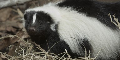 Striped Skunk in the grass