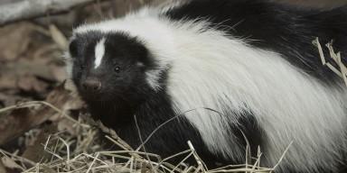 Striped Skunk in the grass