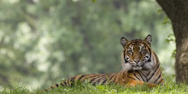 Sumatran tiger lays in grass