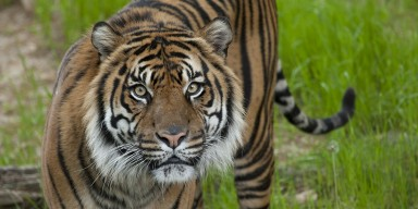 Sumatran tiger looks head-on
