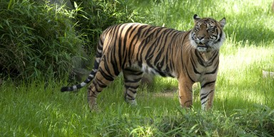 Sumatran tiger stands in grass
