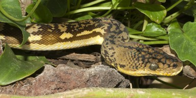 Head of a mostly yellow snake with brownish blotches
