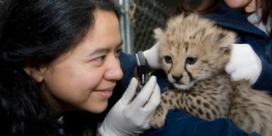 veterinarian examining the eyes of a cheetah cub