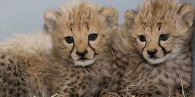 two cheetah cubs huddled next to each other