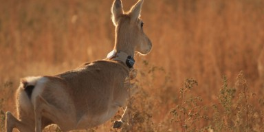 gazelle with tracking collar running through a field