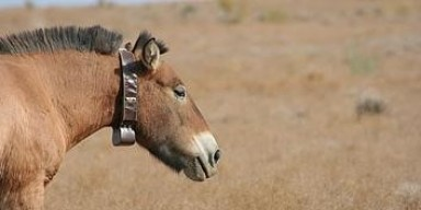Przewalski's horse wearing a satellite tracking collar