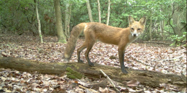 a copper colored fox stands on a log