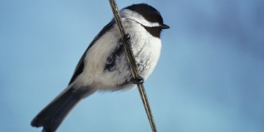 A small black and white bird, called a Carolina chickadee, perched on a wire