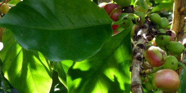 Coffee berries and green leaves on a tree branch