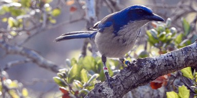 large island scrub-jay bird with colored leg bands perched on a branch