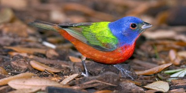 A colorful painted bunting bird standing on the ground