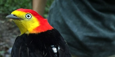 brightly-colored tropical bird with tag on its back