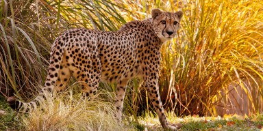 Cheetah in grass