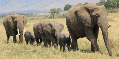 herd of elephants walking through grass