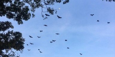 Bats flying across a clear blue sky in Myanmar
